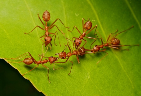 IMG_1000 weaver ants. Troup Dresser on Flikr. https://www.flickr.com/photos/23271361@N06/7725689496