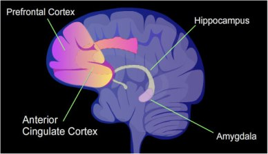 Illustration of brain regions. NIH Image Gallery on Flikr. https://www.flickr.com/photos/nihgov/24024310606
