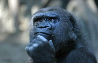 gorilla-thinking. patriziasoliani on Flikr. https://www.flickr.com/photos/55524309@N05/5378319860